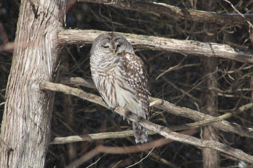 Barred Owl on Branch BI-2090