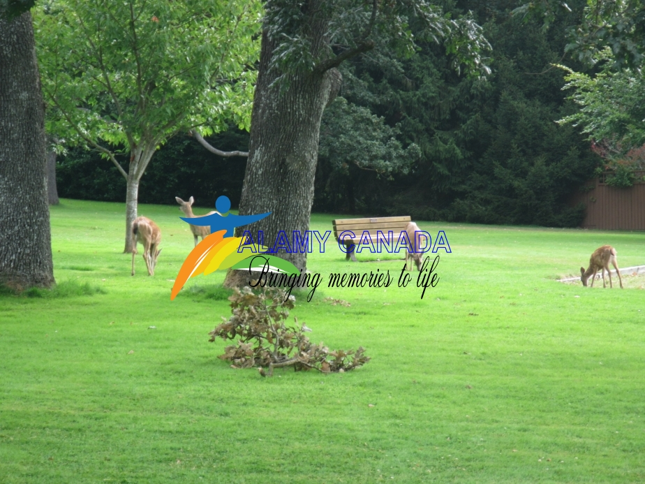 Black-tailed deer in a park, Victoria, British Columbia